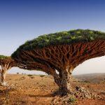 Фото 55: Драконово дерево