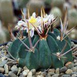 Фото 35: echinofossulocactus coptonogonus