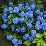 Фото 52: Голубая гортензия