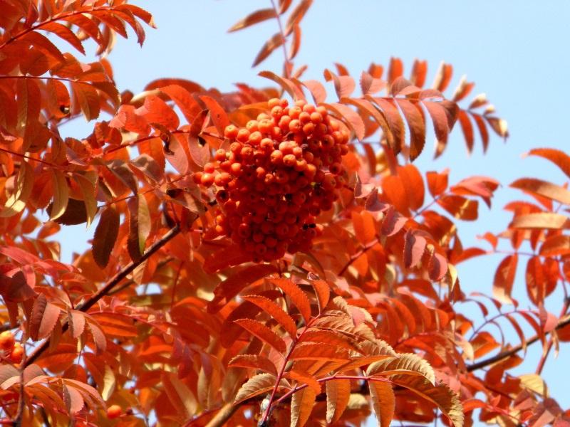 Красноплодная рябина