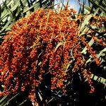 Фото 132: Плоды драконова дерева