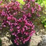 Фото 5: Цветущие кустарники для дачи вейгела 2