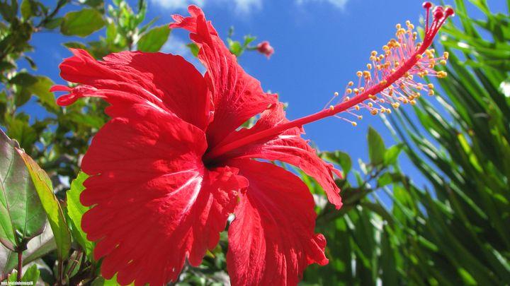 Цветущие кустарники для дачи гибискус