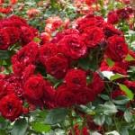 Фото 17: Цветущие кустарники для дачи кустовая роза 1