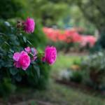 Фото 19: Цветущие кустарники для дачи кустовая роза