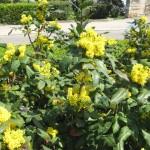 Фото 20: Цветущие кустарники для дачи магония 1