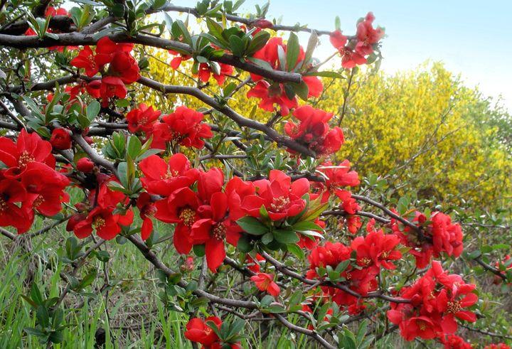 Цветущие кустарники для дачи японская айва