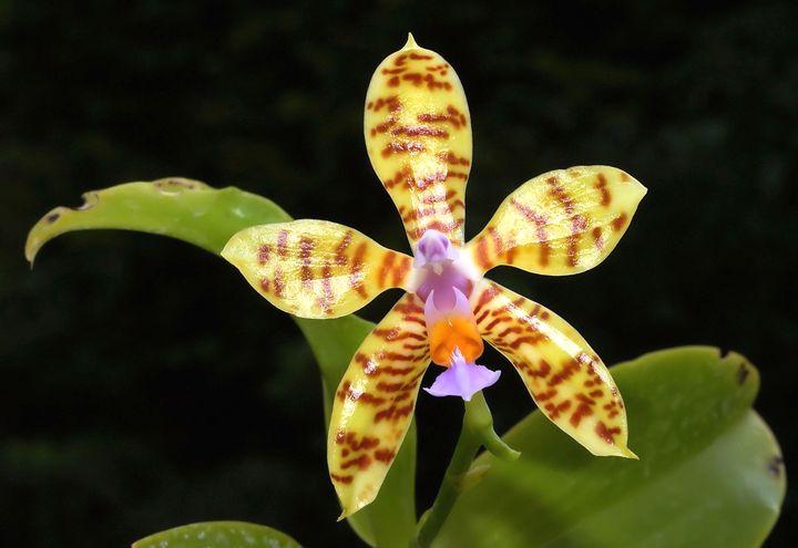 орхидея 7