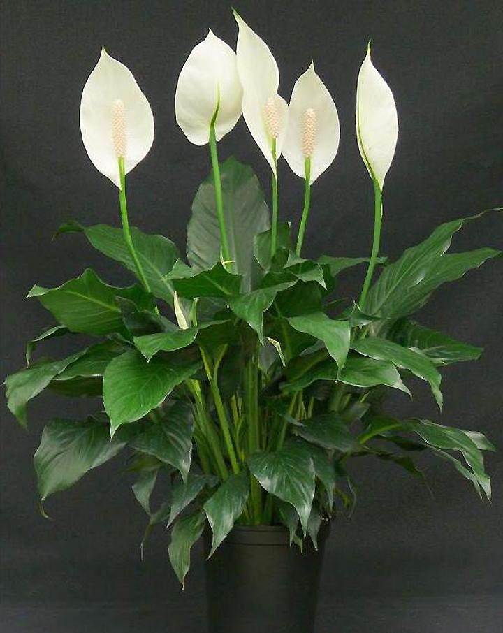 В каком вазоне должен расти спатифиллум