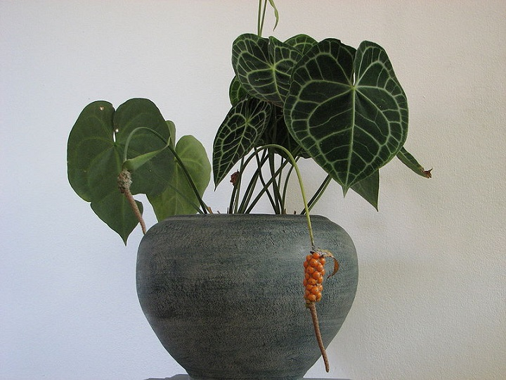 Антуриум является ядовитым растением
