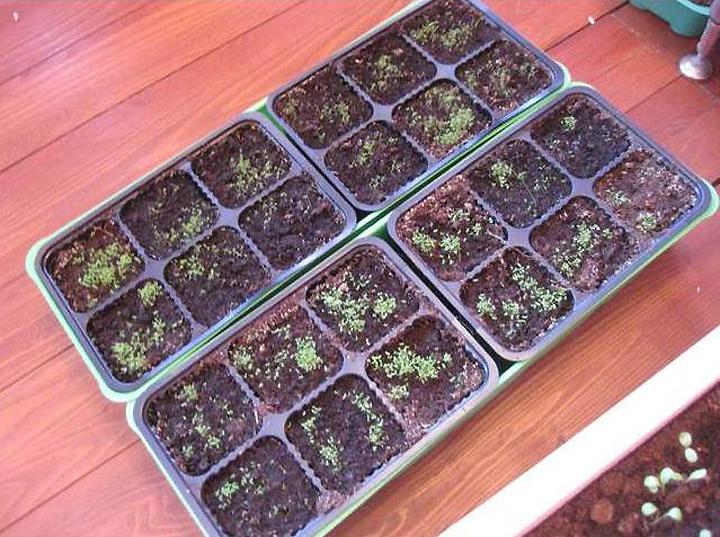 Как вырастить лобелию из семян