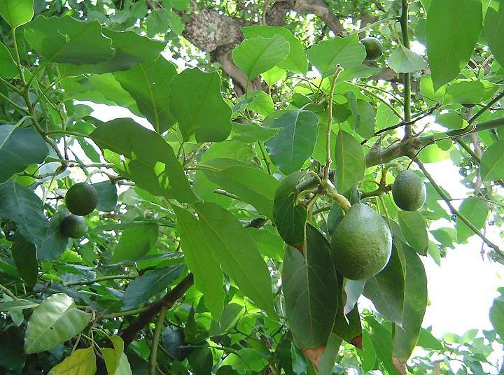 Зеленый авокадо на дереве