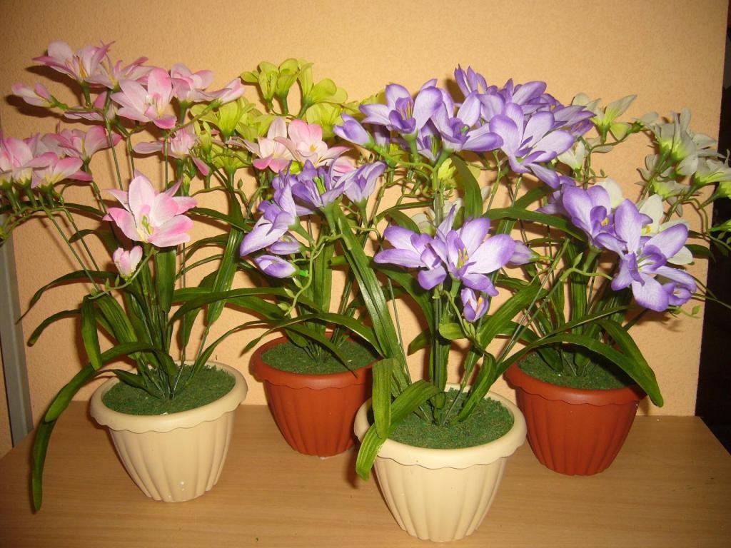 Цветок фрезия и уход в домашних условиях