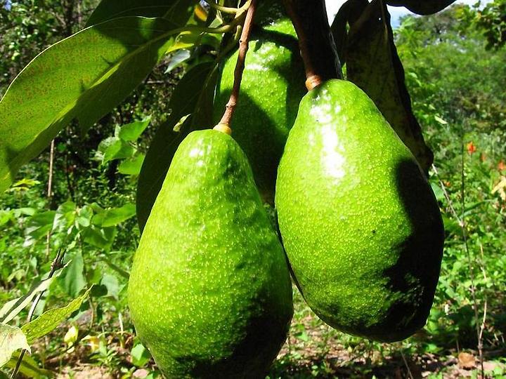 Крокодилова груша-авокадо