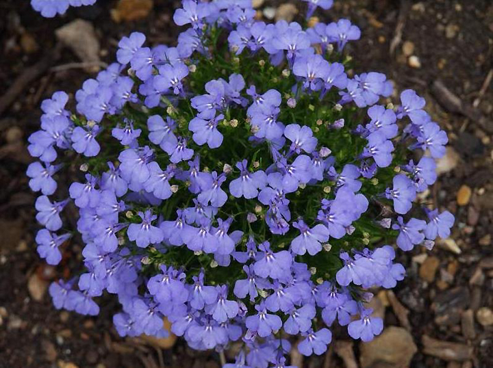 Синева садовой лобелии