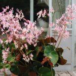 Фото 45: Бегония erythrophylla