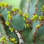 Фото 30: Euphorbia Coerulescens