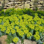 Фото 57: Euphorbia Myrsinites цветение