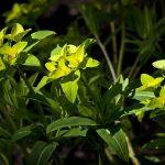 Фото 75: Euphorbia Pallasii