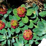 Фото 67: Euphorbia capitulata