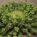 Фото 160: Euphorbia gorgonis