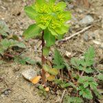 Фото 161: Euphorbia helioscopia