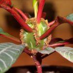 Фото 98: Euphorbia leuconeura