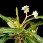 Фото 164: Euphorbia lophogona