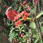 Фото 87: Euphorbia milii