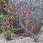 Фото 88: Euphorbia milii в природе
