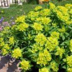 Фото 46: Euphorbia polychroma в саду
