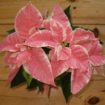 Фото 63: Euphorbia pulcherrima Hybrid