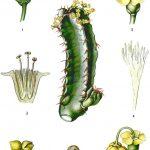 Фото 166: Строение Euphorbia resinifera
