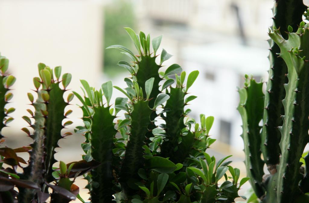 Форма листьев выращивания молочая треугольного