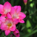 Фото 40: Фрезия Flamingo