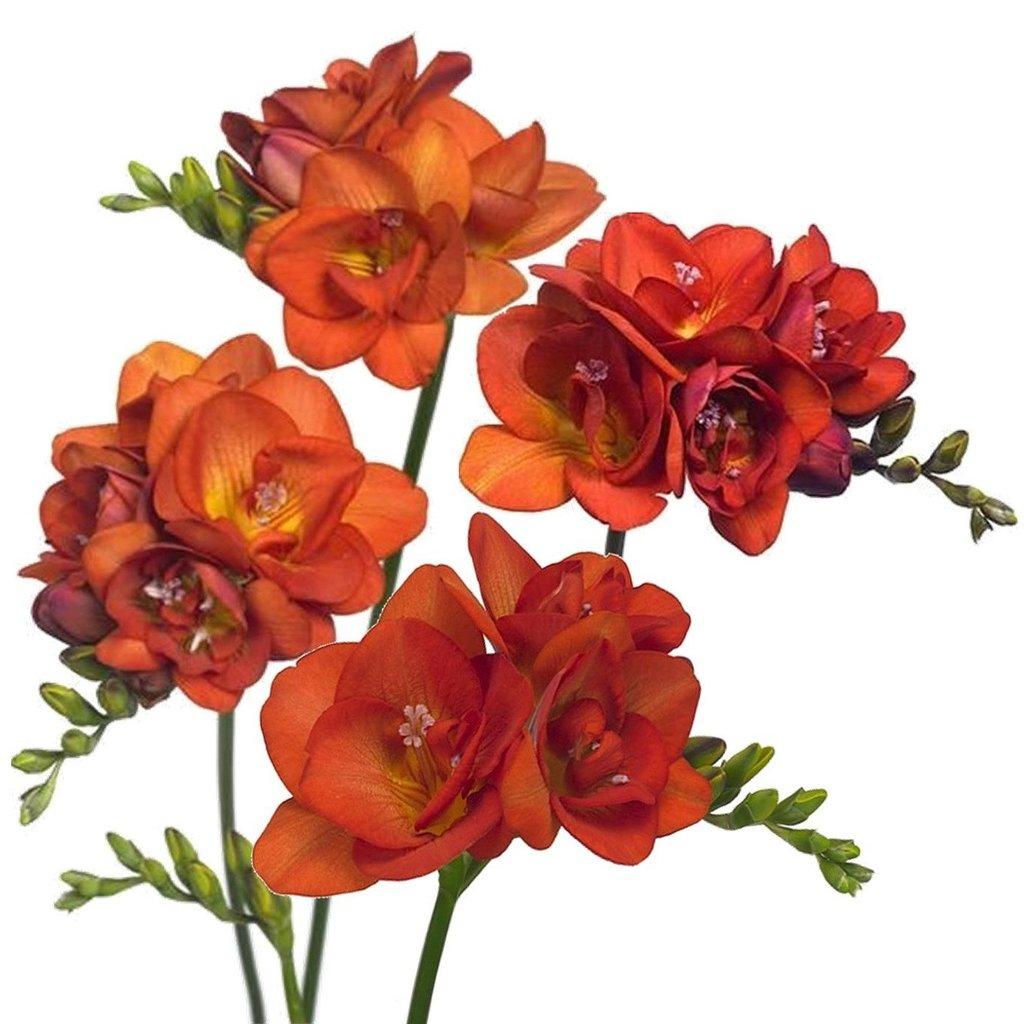 Домашние цветы фрезия фото