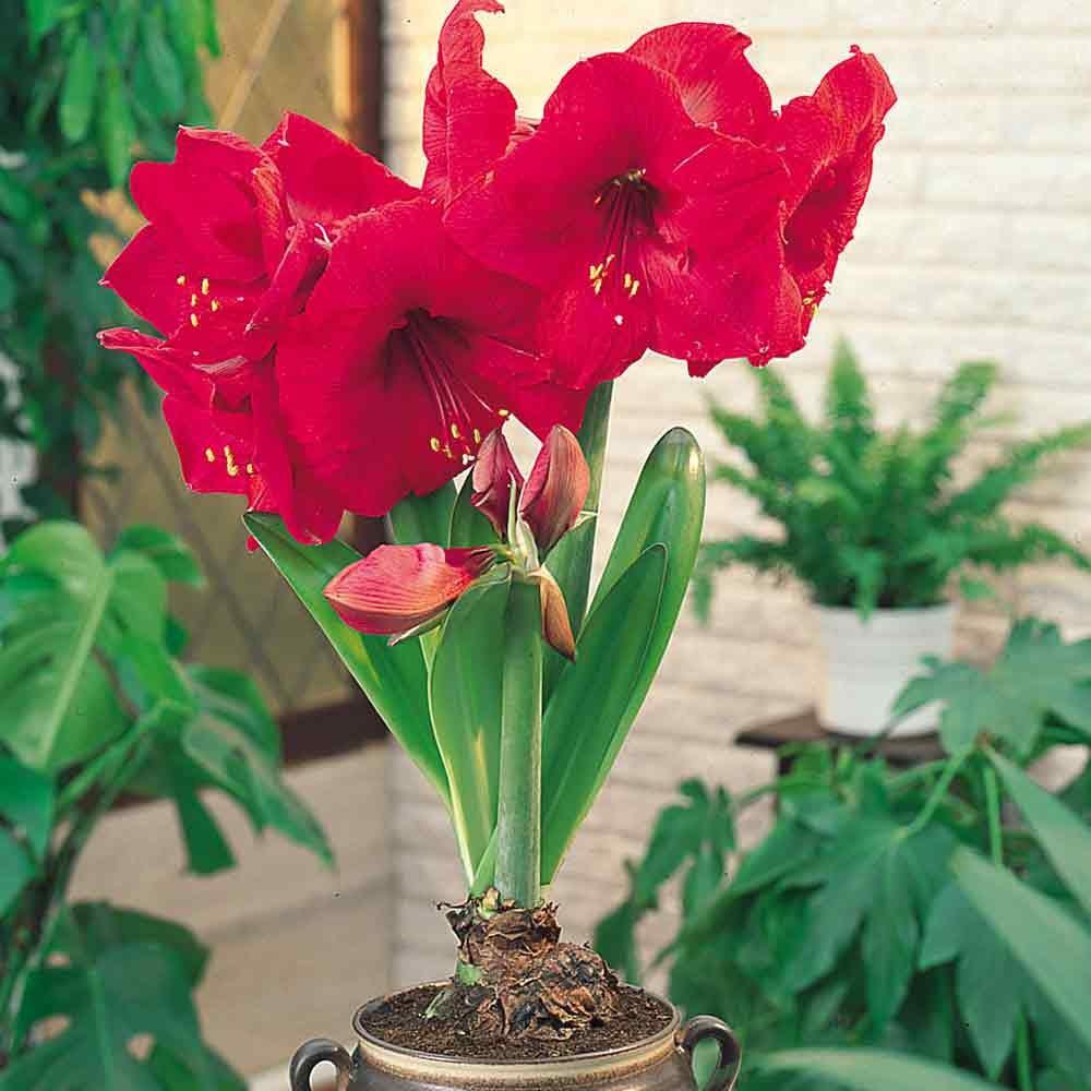 Цветок фрезии в домашних условиях 130