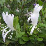 Фото 113: Жимолость Lonicera japonica