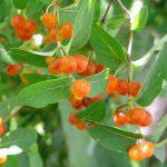 Фото 35: Оранжевая жимолость