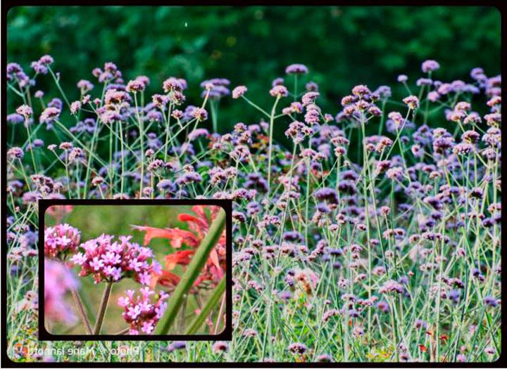 Цветки вербены