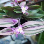 Фото 71: Традесканция Блоссфельда цветение