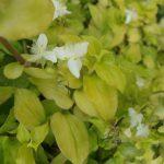 Фото 133: Tradescantia fluminensis 'Aurea'