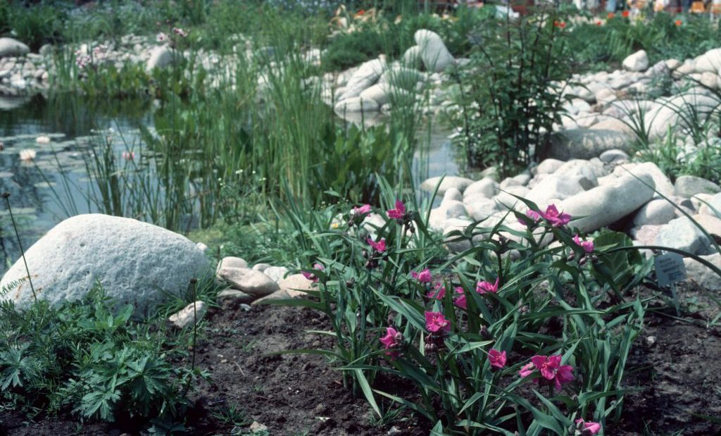 Традесканция садовая