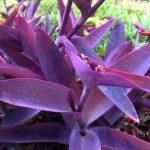 Фото 77: Традесканция пурпурная