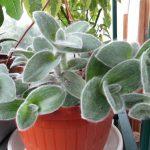 Фото 57: Выращивание традесканции силламонтана