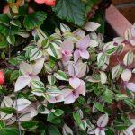 Фото 145: Цветок традесканция фото