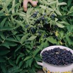 "Фото 56: Сбор жимолости ""синяя птица"""