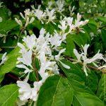 Фото 29: Белые цветы жимолости
