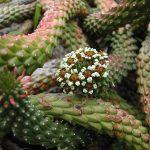 Фото 114: Цветение Euphorbia caput medusae