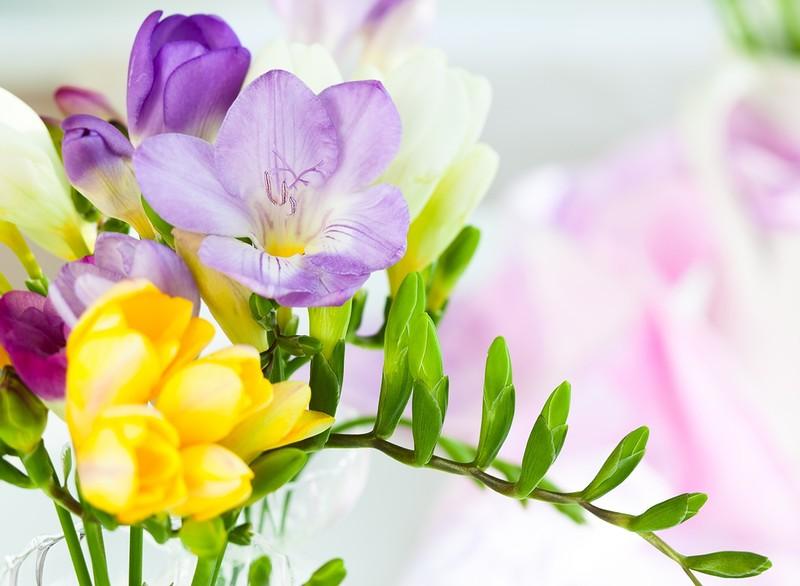 Цветок фрезия